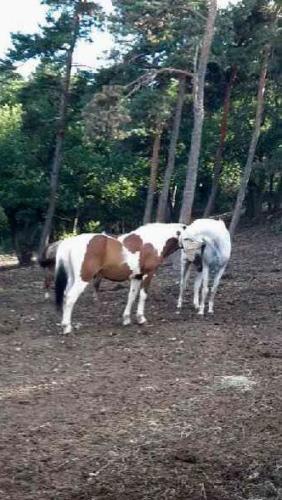 Grands poneys paddock